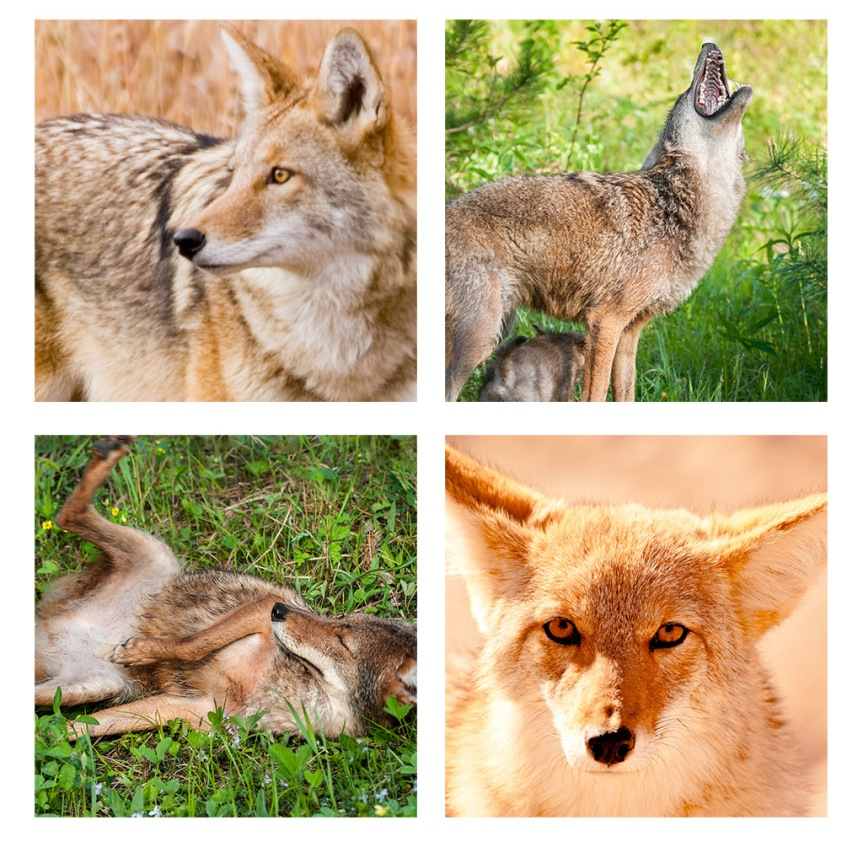 Some of the Coyote reference photos in my files.
